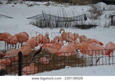 A Flock Of Pink Flamingos In Winter Huddled Together On A Bed Strew, Surrounded By Snow, Animals, Bi
