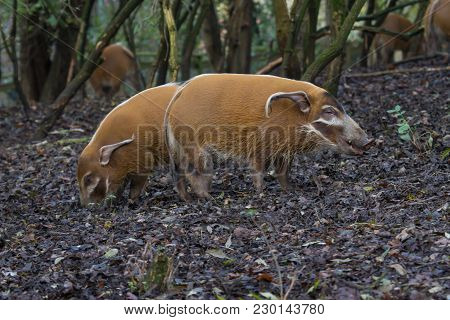 Photo Of A Group Of Red River Hogs Grazing In A Wood