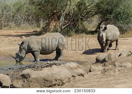 Rhinos In The Kruger National Park South Africa