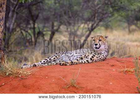 A Cheetah In The Kgalagadi Transfrontier Park South Africa