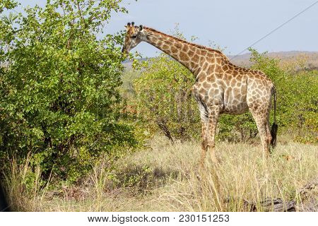 A Giraffe Eating A Tree In The Kruger National Park South Africa