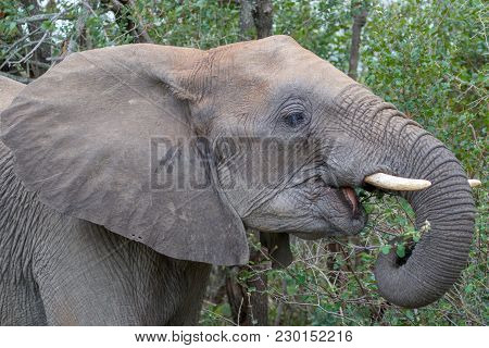 An Elephant In The Kruger National Park South Africa