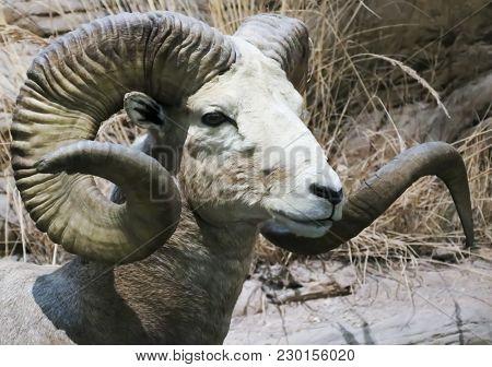 A Close Up Portrait Of A Stone Sheep, Ovis Dalli Stonei