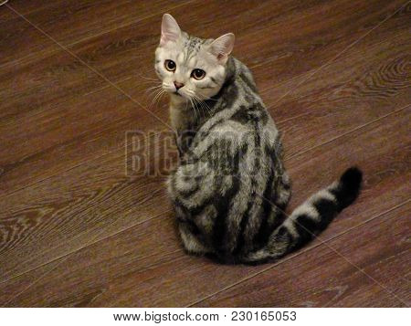 Portrait Of An Interesting Three Color Coated Scottish Kitten. View From The Back Of Domestic Scotti