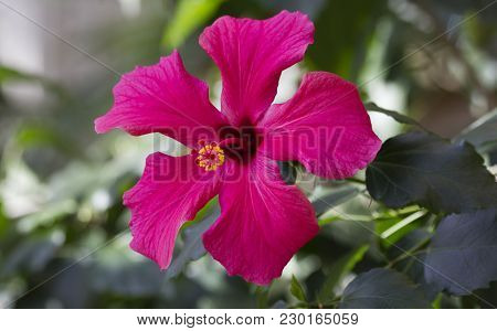 Bright Pink Large Flower Of Purple Hibiscus (hibiscus Rosa Sinensis)on Green Nature Background. Kark