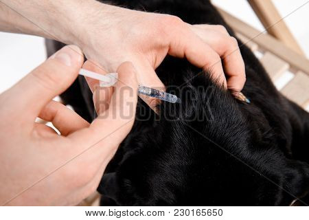 Syringe Man Give Medicine To Pug Dog With Syringe. Concept Of Diabetes In Dogs Insulin