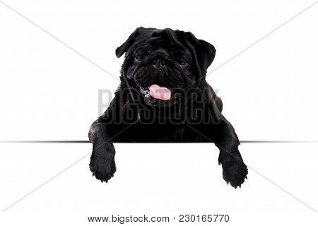 Pug Black Peeking From Behind Empty Board. Isolated On White Background