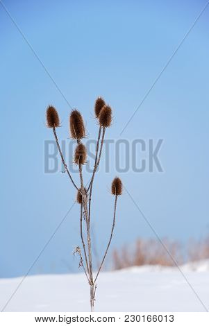 Beautiful Seed Capsules By Blue Sky In A Snowy Landscape
