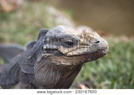 Iguana In A Molting Season, Closeup B&w