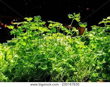 Greens (parsley And Dill) Grow In Boxes On A Windowsill In The House.