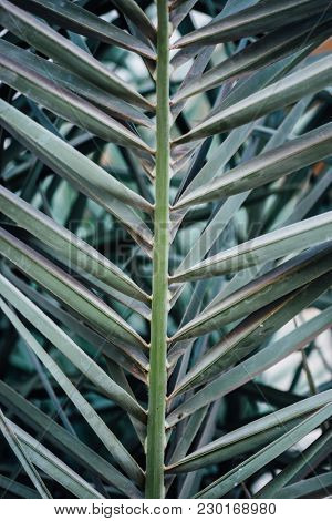 Close up of palm tree leaves. A desert plant.