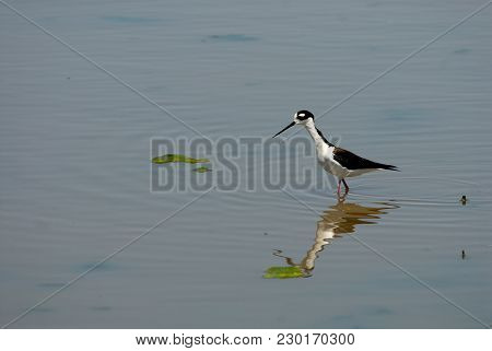A Black-necked Stilt Wading In Shallow Water Hunting And Foraging In Central Kansas.