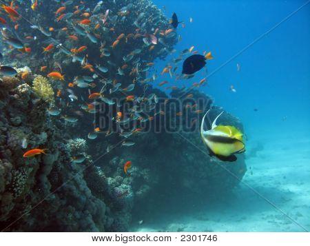 Antenna Butterflyfish