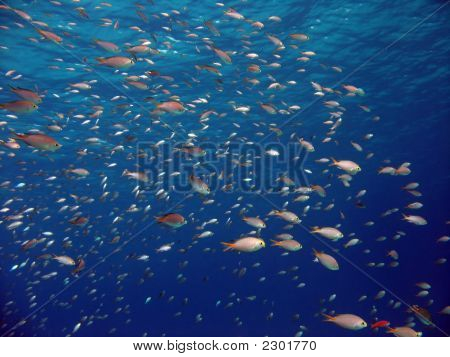 Anthias And Other Fish