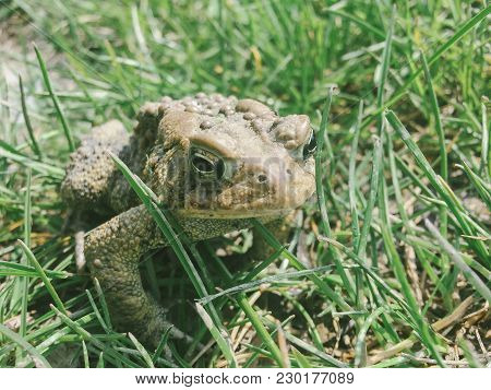 An Eastern American Toad In The Grass.