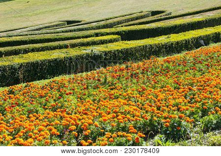 Summer Marigold Flowerbed And Trimmed Evergreen Boxwood In Park Hillside. Composition From Plants On