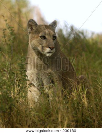Tierische Cougar Gras