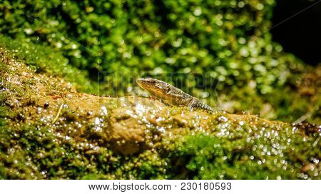Nimble Green Reptile Lizard Closeup, Basking On Rock Covered With Moss And Lichen Under The Sun. The