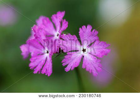 Purple Primula Flower. Latin Name: Primula Vulgaris
