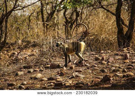 Langur (presbytis) Of Golden Color In National Park Near Khajuraho, India