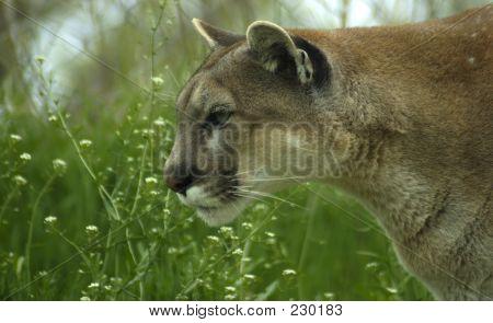Tier-Cougar-Frühling