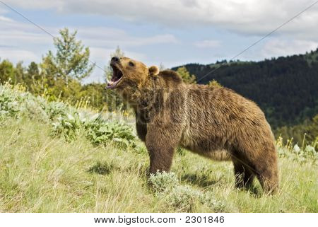 Grizzly Bear Growling