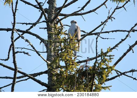 A Northern Goshawk Sitting Still On A Tree Branch While Watching Around On A Clear Winterspring Day.
