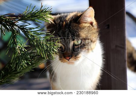 Standing Cat On Windowsill Looking Through Spruce Outdoor And Waiting