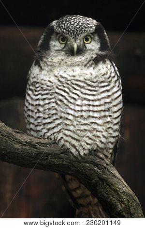 Northern hawk-owl (Surnia ulula). Wild life animal.