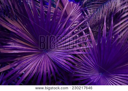 Close Up Purple Tropical Big Palm Leaves In Exotic Country Thailand Landscape Holiday. Concept Of Fo