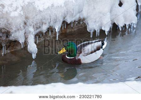 Mallard Waterfowl Duck Swimming In Small Icy Pond