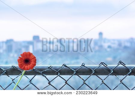 Bright Red Flower On Chainlink Fence Overlooking Soft Focus Background City View. Fence And Flower A