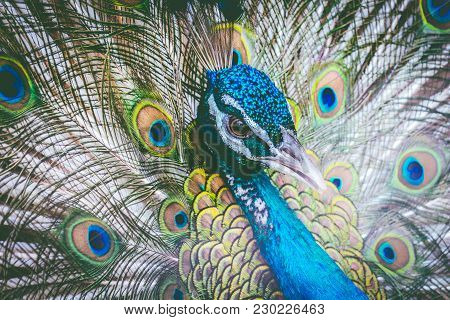 Beautiful Peacock With Feathers Out On Background