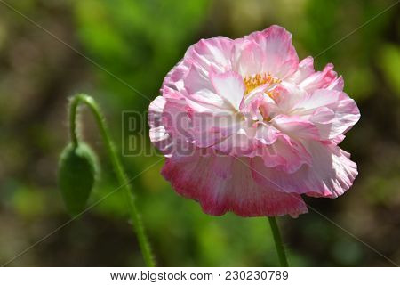 Meadow With Lilac Poppy Flower In Early Summer. Close Up Of Poppy Flower With Bud In Sunny Day. Popp