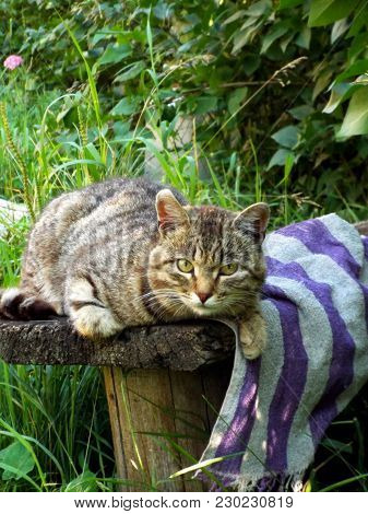 Beautiful Curious Scottish Wildcat (felis Silvestris Grampia) Laying On Bench In Green Grass. Three-