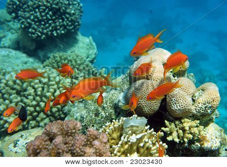 Red Coral Perch