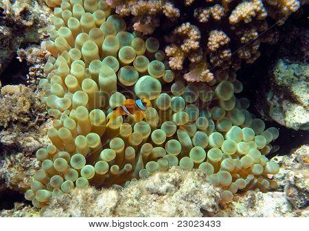 Yellow Two-stripes Anemon