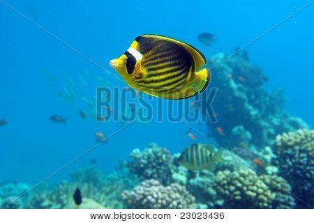 Diagonal Butterfly Fish