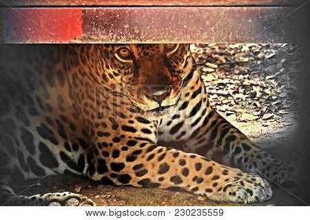 Closeup Jaguar Lie Down On The Ground And Stare