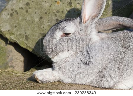 Purebred Rabbit Belgian Giant Resting Outside In The Sun