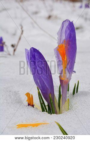 Burgeons Of Early Spring Crocus Vernus Or Saffron Flower With Damaged Petals, Growing Through Meltin