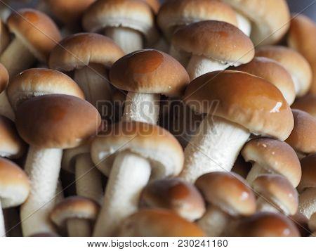 Poplar Mushrooms Aka Velvet Pioppini Mushroom Food