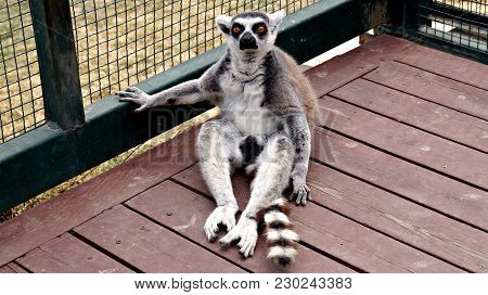 Ring-tailed Lemur (lemur Catta) In Zoo In Paddock. Lemur Looking On Camera. Portrait Of A Lemur Katt