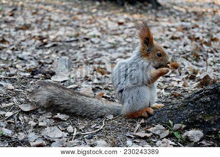 Closeup Of Funny Cute Grey And Red Squirrel Eating Pine Cone (sciurus Vulgaris, Rodent). Curious Squ