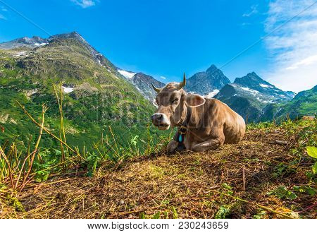 Alpine Region Cow. Switzerland, Europe. Swiss Alpine Landscape.