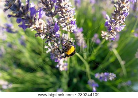 Bombus Terrestris And The Lavender Flower. Macro Photo