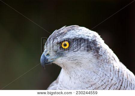 Image Of Close Up Hawk Goshawk (accipiter Gentiles)