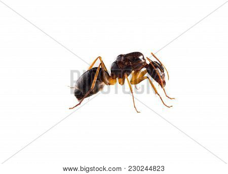 Collection Of 9 Brown Forest Ants On White Background In Different Positions.