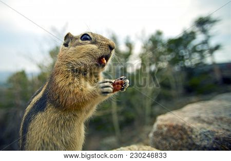 Little Chipmunk With Nuts Dinner. Funny Chipmunk - Wide Angle-closeup Photography.