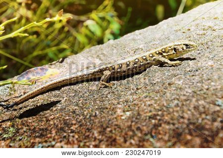 Lizard On The Rock. Reptile Animal Image.